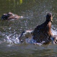 купание дикой утки :: Олег Петрушов