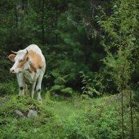Артыбашские коровы :: Юрий ВОВК