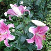 Розовая лилия :: Дмитрий Никитин