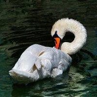 Белый лебедь, лебедь чистый... :: Наталья