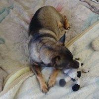 Мика с любимыми игрушками! :: татьяна