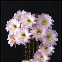 Цветущий кактус 2 :: Jossif Braschinsky