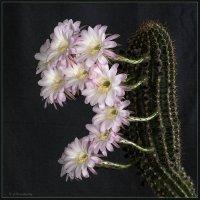 Цветущий кактус 1 :: Jossif Braschinsky