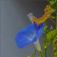 краткий миг цветения... :: Наталья Rosenwasser