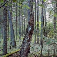 Старый лес :: Андрей Черемисов