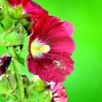 Цветы :: Гузель Гюльвердиева