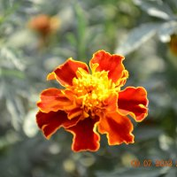 Цветы :: Maksim Shubin