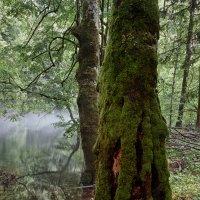 Древний лес :: Sergei Khandrikov