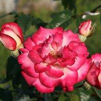 Розы :: Александр Сивкин