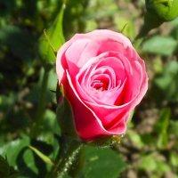 Роза :: Наталия Дмитренко