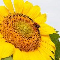 Огородное солнышко :: юрий Амосов