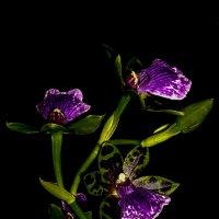 Орхидея зигопеталюм :: Ирина Приходько