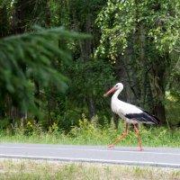 Важная птица Аист :: Александр Аль-А