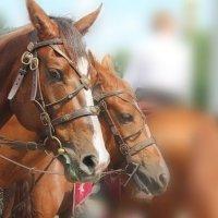 Две лошадки :: Елена Аксамит