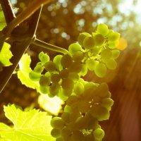 Винограда кисть :: Abashev V. Alexey