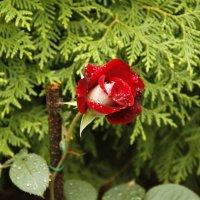 Роза после дождя :: esadesign Егерев