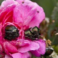 Японский жук - еще тот вредитель :: Яков Геллер