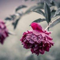 После дождя. :: Анна Тихомирова