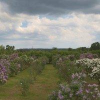 Сиреневый сад :: Александр Творогов