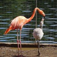 Фламинго кормит птенца :: Константин Ординарцев