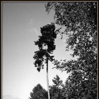 Одинокая сосна :: Михаил Малец