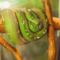Зелёный питон (Green Tree Python) :: Олеся Вагизова
