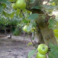 Яблочный спас -19 августа :: Варвара