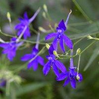 Растение живокость полевая. Ядовитая, но полезная. :: Наталья (ShadeNataly) Мельник