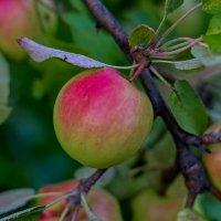 Зреют яблоки :: Дмитрий Сиялов