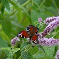 Бабочка павлиний глаз на мяте.*** :: Алексей Цветков