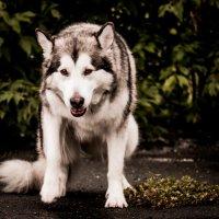 Волки уходят... :: Анастасия Иноземцева