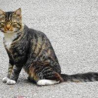 В меру упитанный котяра в расцвете сил :: Маргарита Батырева