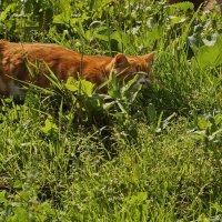 Солнце и трава - радость для кота)) :: Ольга Логинова