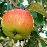 Эх,яблочко! :: °•●Елена●•° Аникина♀