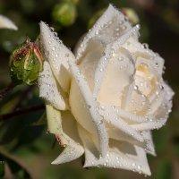 Макро белой розы :: Александр Синдерёв