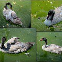 Птенец черношейного лебедя :: Нина Бутко