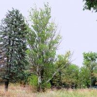 Деревья умирают стоя. :: Владимир Болдырев