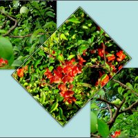 Японская айва - цветы и плоды :: Нина Бутко