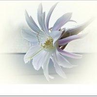 Цветок эхинопсиса :: Любовь Чунарёва