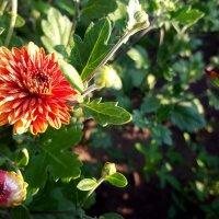 Хризантемы в саду :: Елена Антипова
