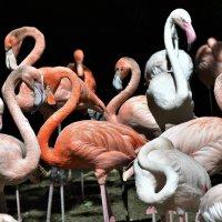Такие разные фламинго. :: Елена Савчук