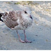 Чайка. :: Олег