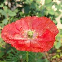 Алый цветок :: Алена Суворова