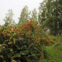 Куст барбариса в пейзаже. :: Наталья Золотых-Сибирская