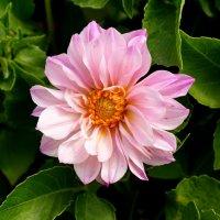 И августа конец нас радует цветеньем... :: Андрей Заломленков