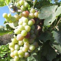 виноград созрел :: Валерий A.