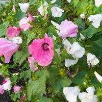 Белые и розовые лаватеры :: Анатолий Иргл