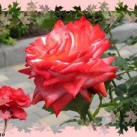 Королева цветов - роза :: Нина Бутко