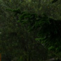 Ель в дожде, а может быть дождь в ели.... :: Павел Савин