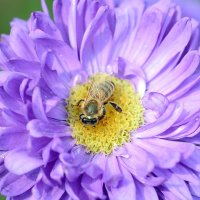 Пчела на астре :: Олег Шендерюк